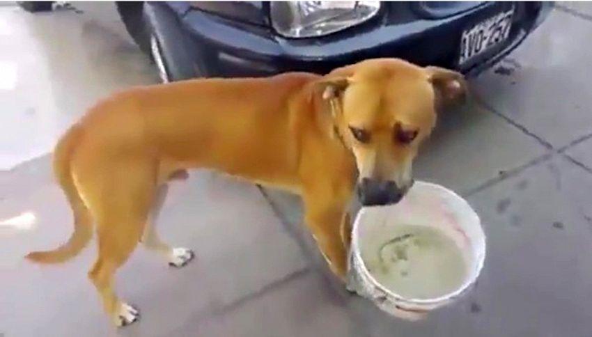 Siccità a Lima: cane chiede acqua con un secchio