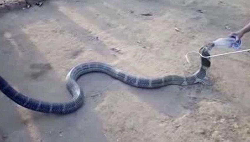 Il cobra ha sete. Ecco che fanno gli abitanti di questo villaggio