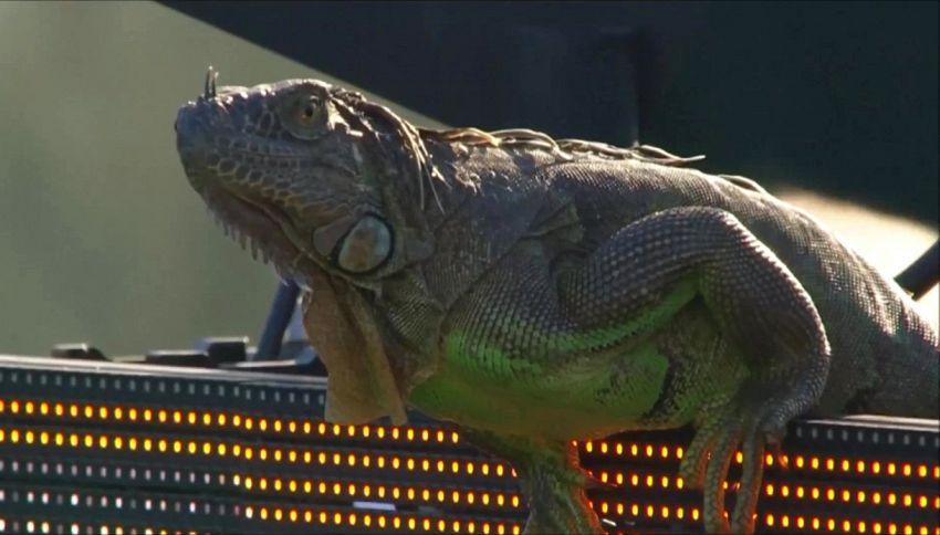Il tifoso di tennis che non t'aspetti: iguana in campo a Miami