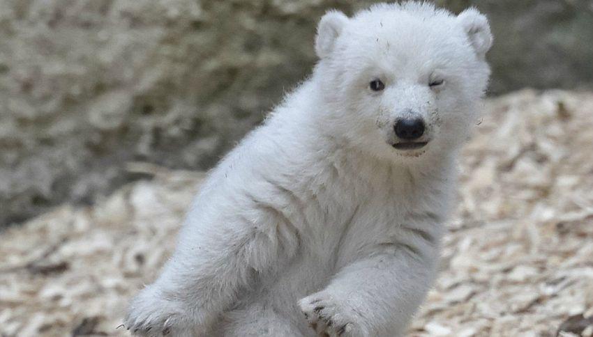 L'orsetto che strizza l'occhio ai fotografi è la star dello zoo