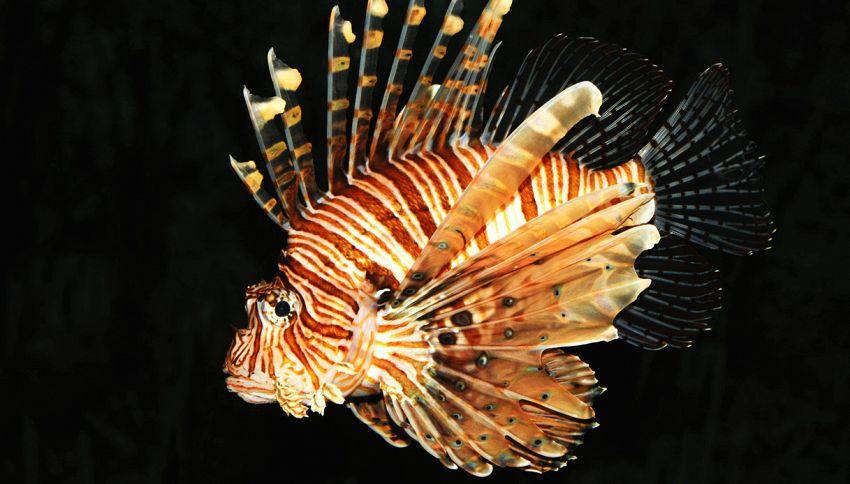 Avvistato in acque italiane il famigerato pesce scorpione