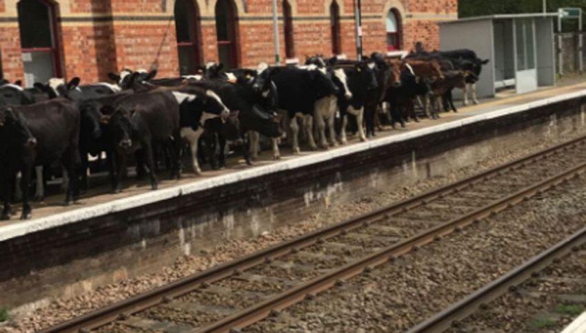 Ecco la mandria di mucche che voleva prendere il treno