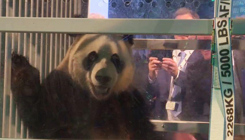 Avete mai visto due panda giganti? Eccoli!