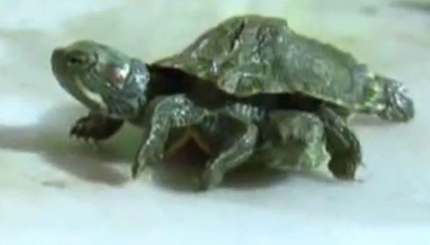 La tenera tartaruga con due teste e sei zampe