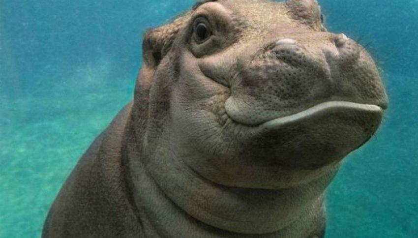 Baby Hippos: i cuccioli di ippopotamo conquistano il web