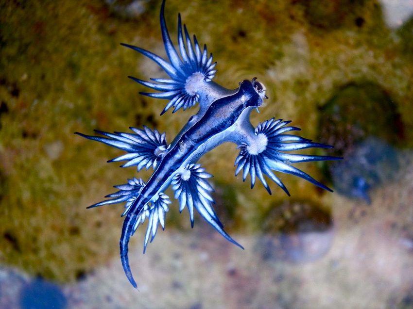 Scoperto un rarissimo drago blu sulle coste dell'Australia