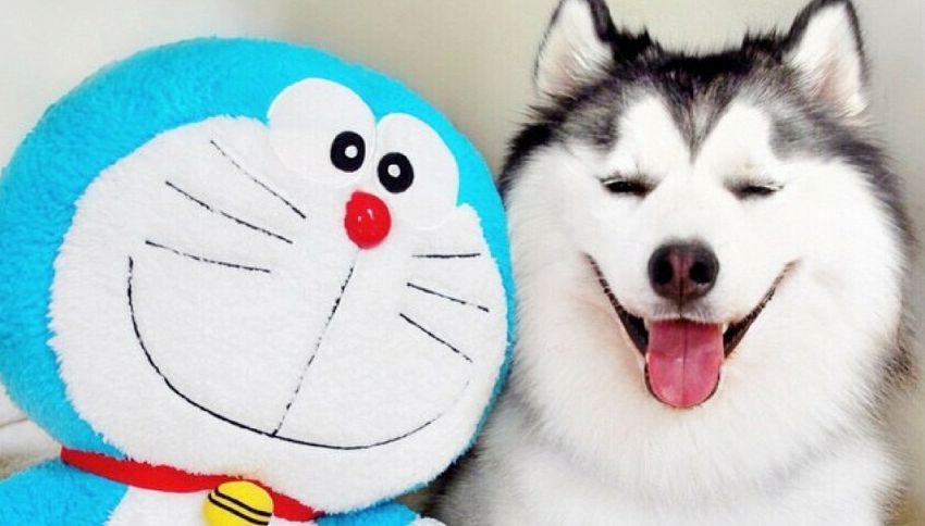 Maru: l'husky più sorridente del web
