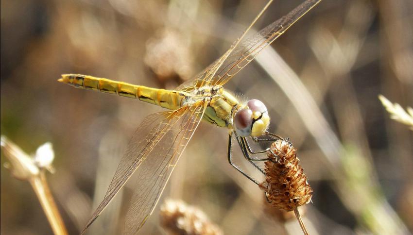 Le libellule si fingono morte per evitare le avances