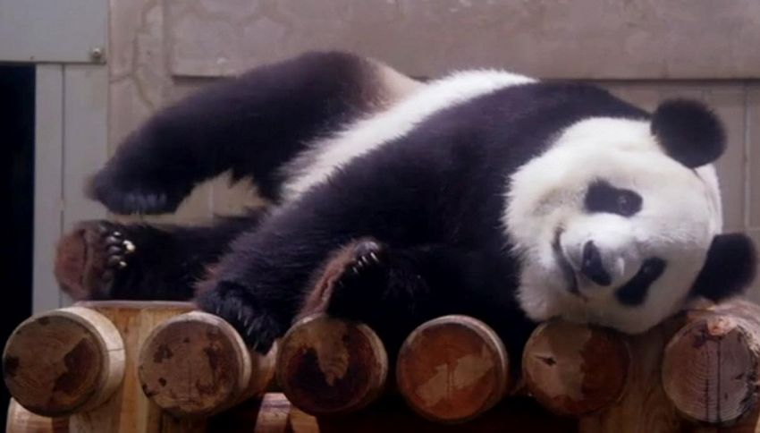 Lo zoo è preso d'assalto, panda Shin Shin è incinta