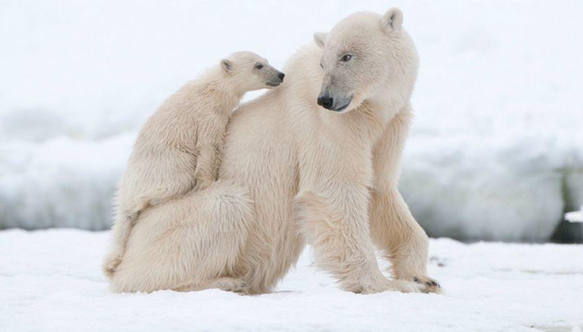 I primi passi dell'orso polare e le coccole: il video tenerissimo