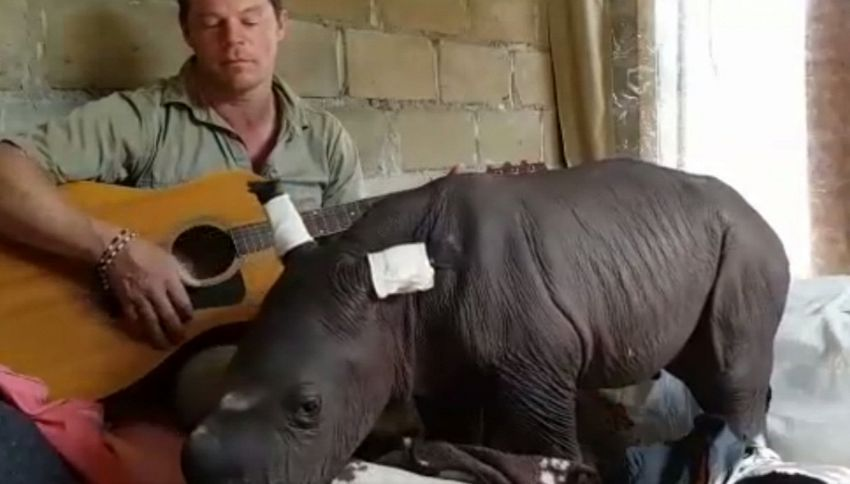 Africa, volontario suona la ninna nanna per il baby rinoceronte