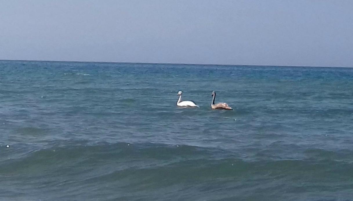 Nelle acque di Torvaianica spuntano due cigni