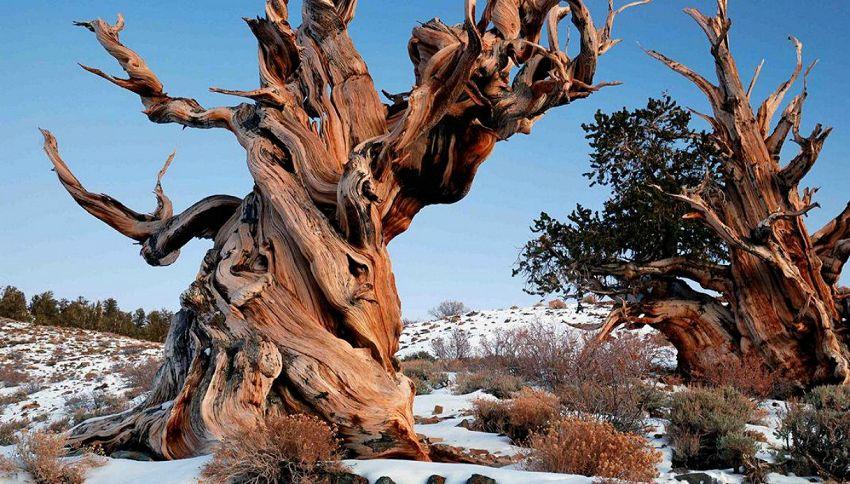 L'albero più antico del mondo è nato prima delle piramidi