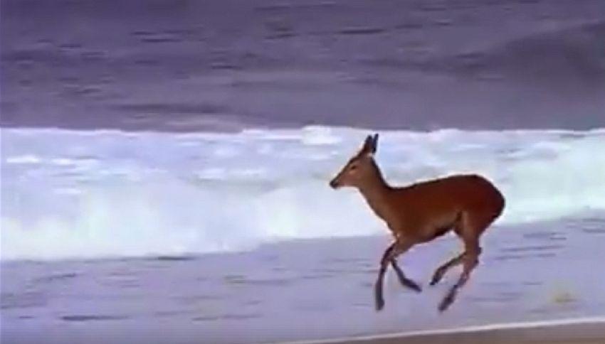 Maremma, il capriolo raggiunge la spiaggia e gioca fra le onde