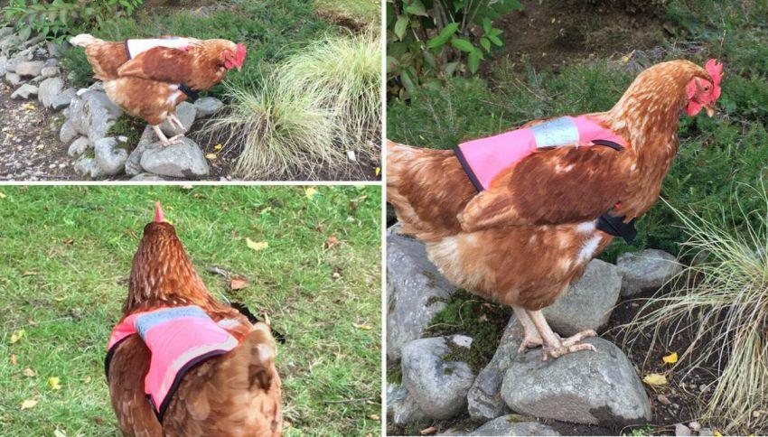 Scozia, ecco le galline in fuga (con giubbotto salvavita)