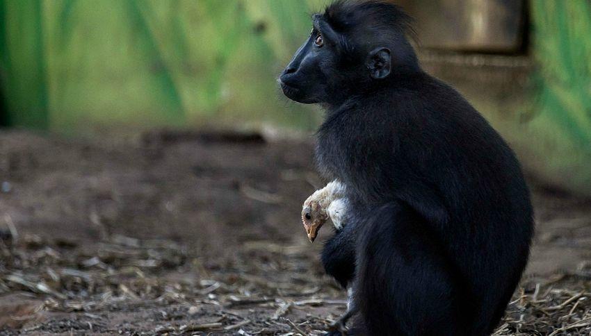 La strana e tenera amicizia fra la scimmia Niv e un pollo