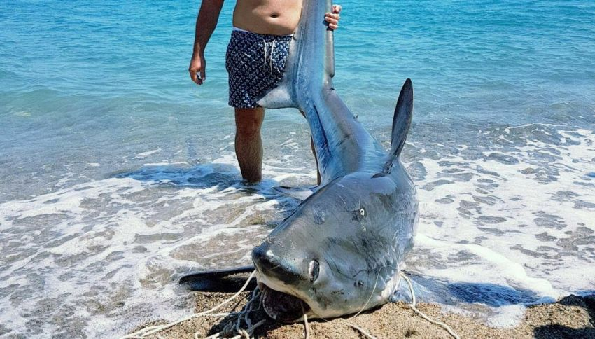 Dalle acque di Crotone emerge uno squalo volpe di 200 kg