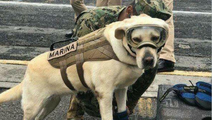 Frida, il cane-eroe che ha salvato 52 persone in Messico