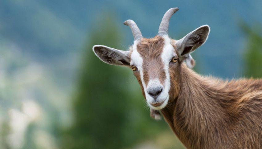 La capra che ha tenuto in ostaggio un intero paese per 5 giorni