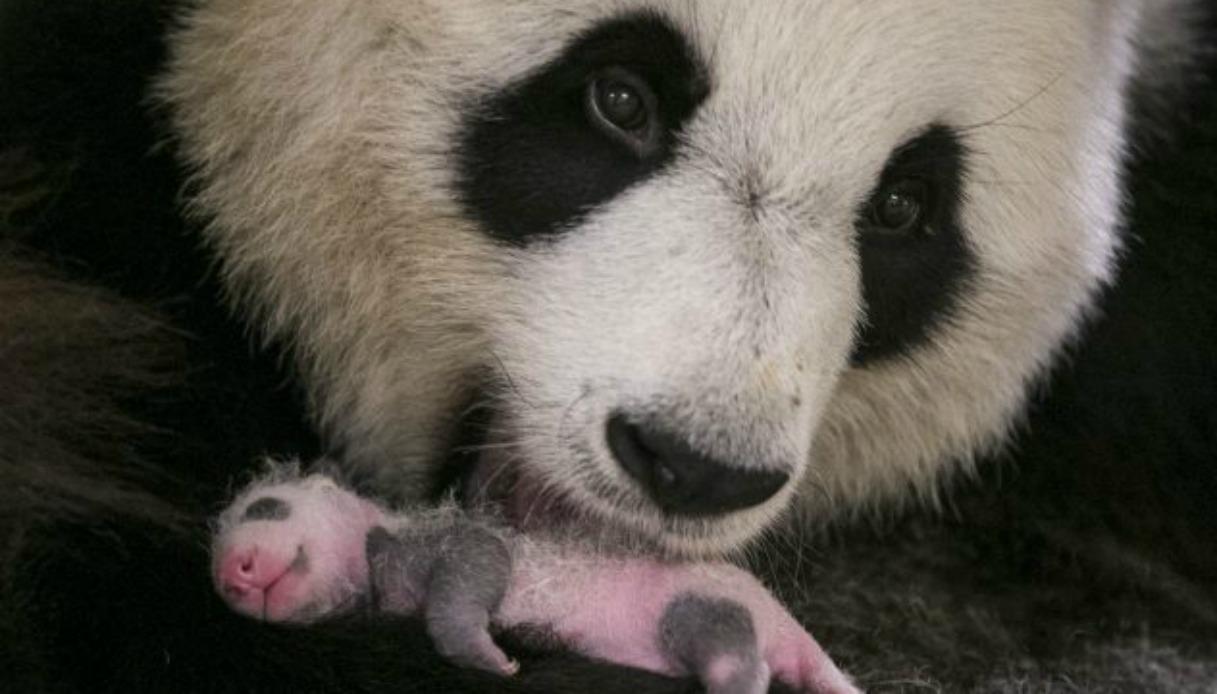 Come cresce un panda? Spettacolare video racconta un mese di vita
