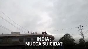 Tragedia, mucca suicida in India