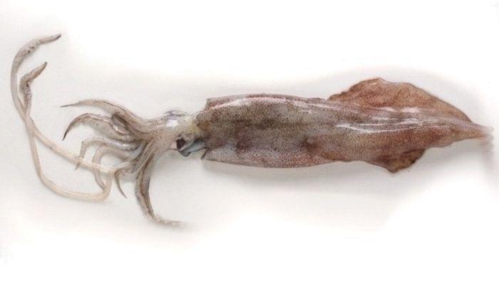 Calamari, caratteristiche e ricette