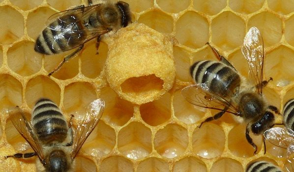 Miele: il giallo delle api scomparse