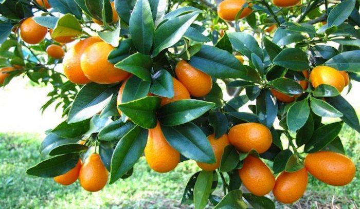 Kumquat, caratteristiche e ricette