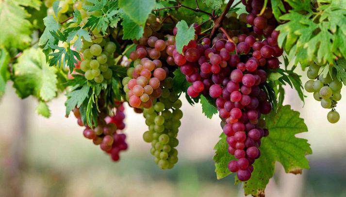 I valori nutrizionali dell'uva
