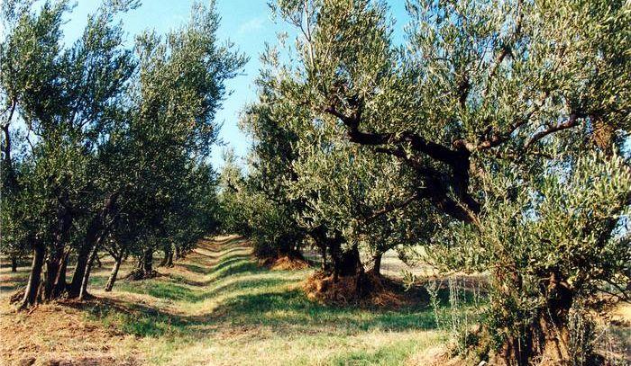 Torna il 28 ottobre la Camminata tra gli olivi nel Lazio