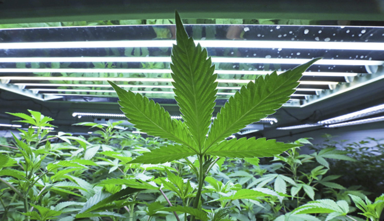 Cannabis terapia antidolore a carico SSN