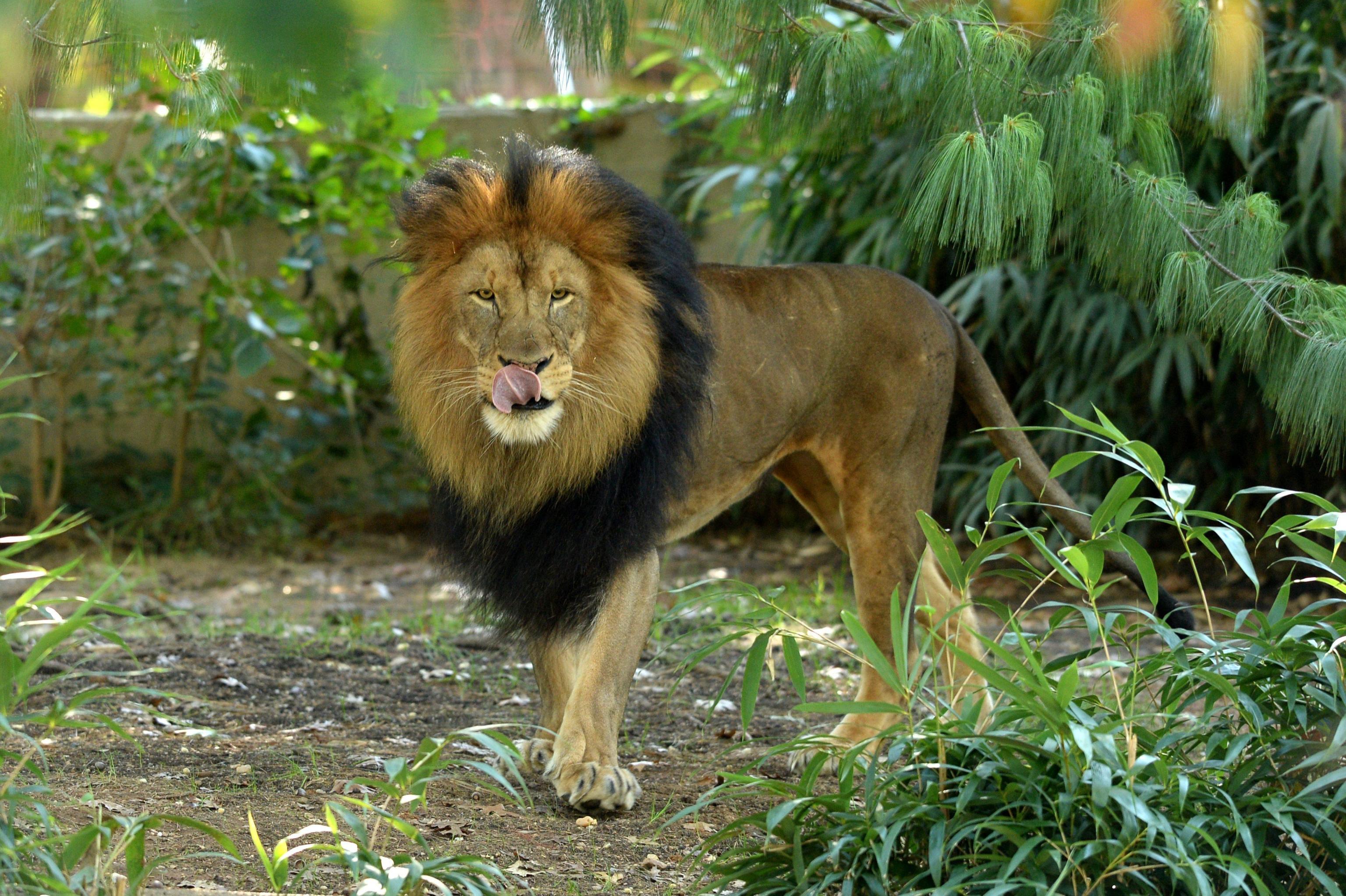Trump,leoni fuori da bando trofei caccia
