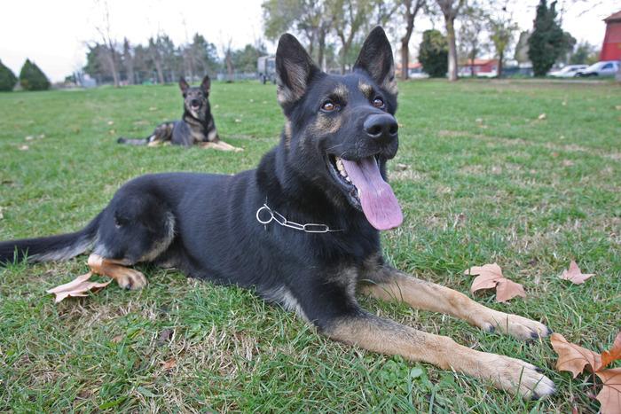 Aggredito da sei cani pastori tedeschi, ferito nel Reggiano