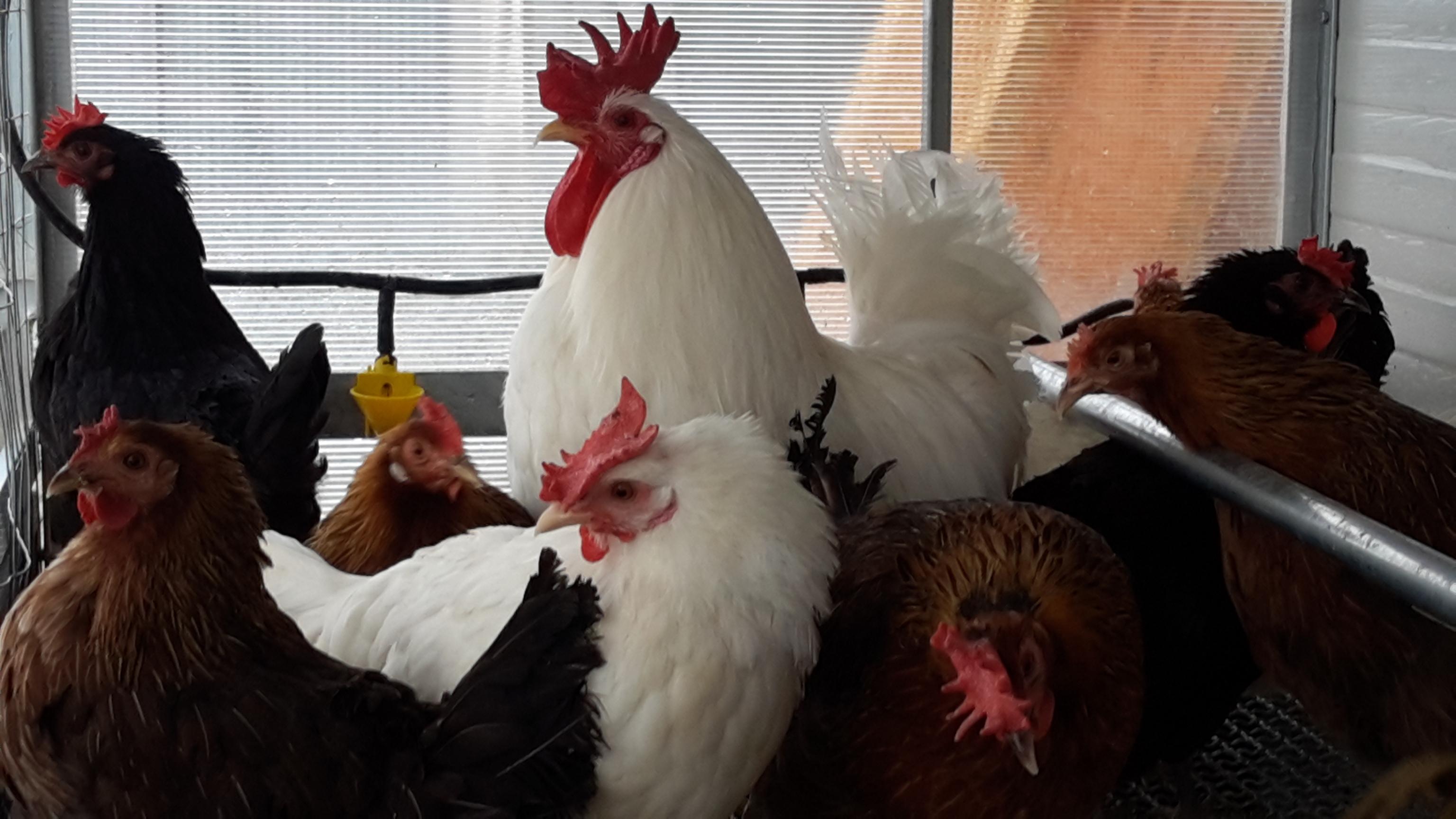 Sgozza gallina e minaccia ex, condannato