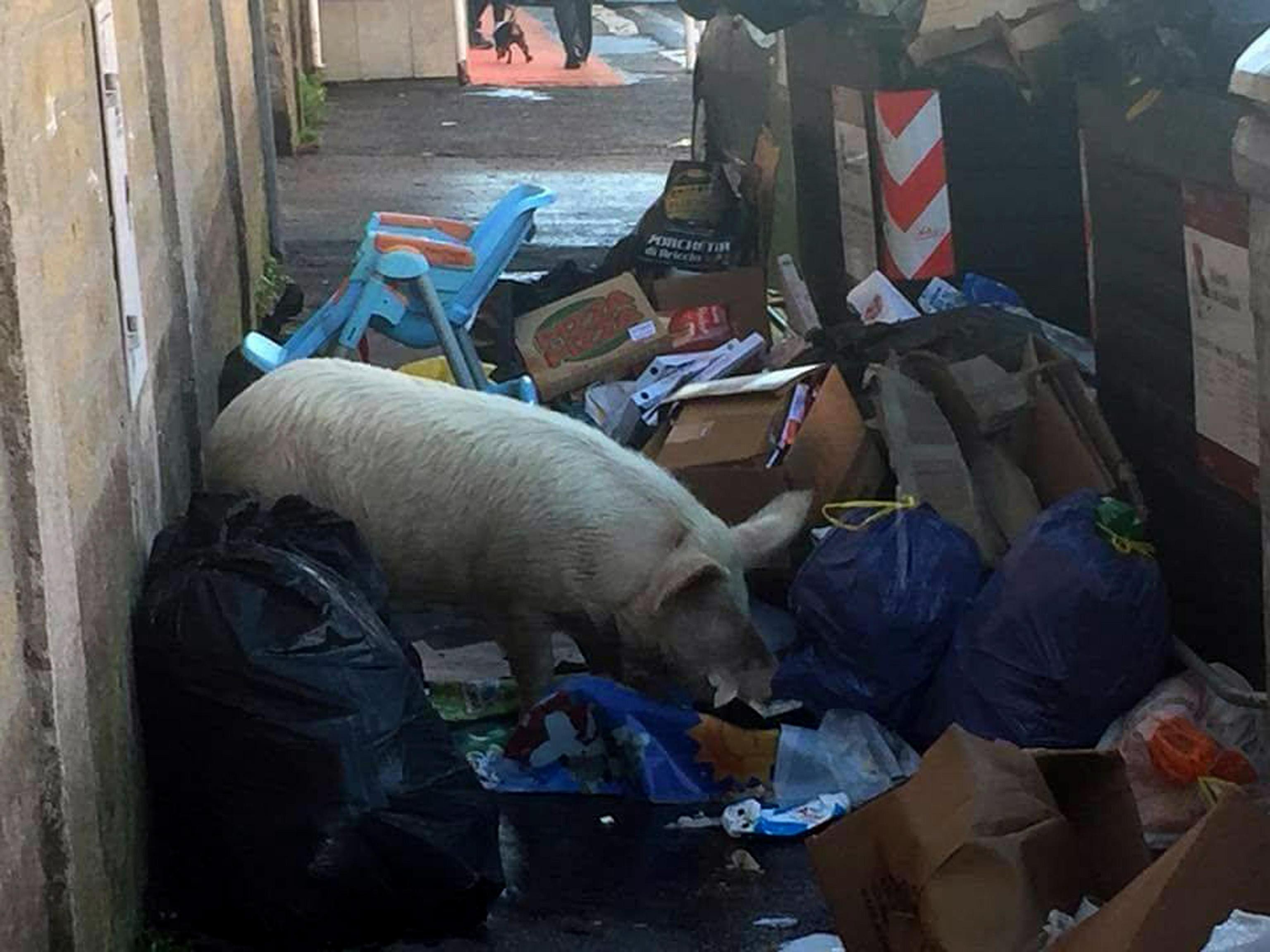 Raggi, maiale in strada è di Casamonica