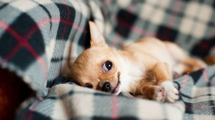 Le 10 razze di cani da appartamento taglia piccola paginegialle