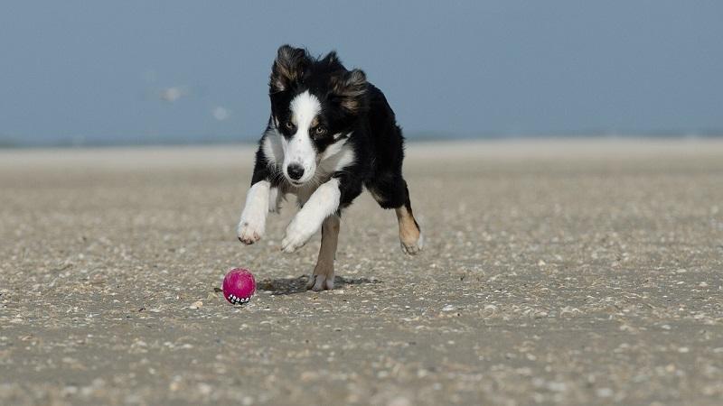 Gioco kong per cani: cos'è, come sceglierlo, quanto costa