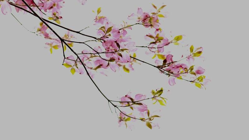significato tatuaggio fiore di ciliegio