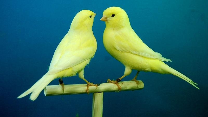 canarino giallo