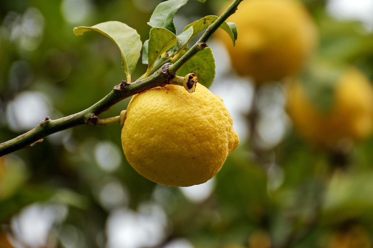 Come e quando potare i limoni in vaso for Potatura limone periodo
