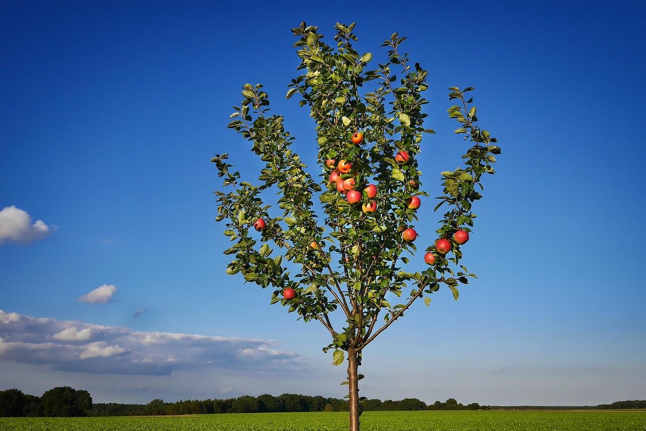 Innesto per alberi da frutto