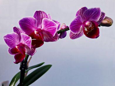 Illuminazione Orchidee : Come potare le orchidee per farle rifiorire?