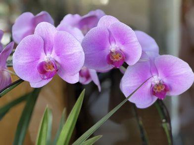 Come rinvasare o trapiantare le orchidee?