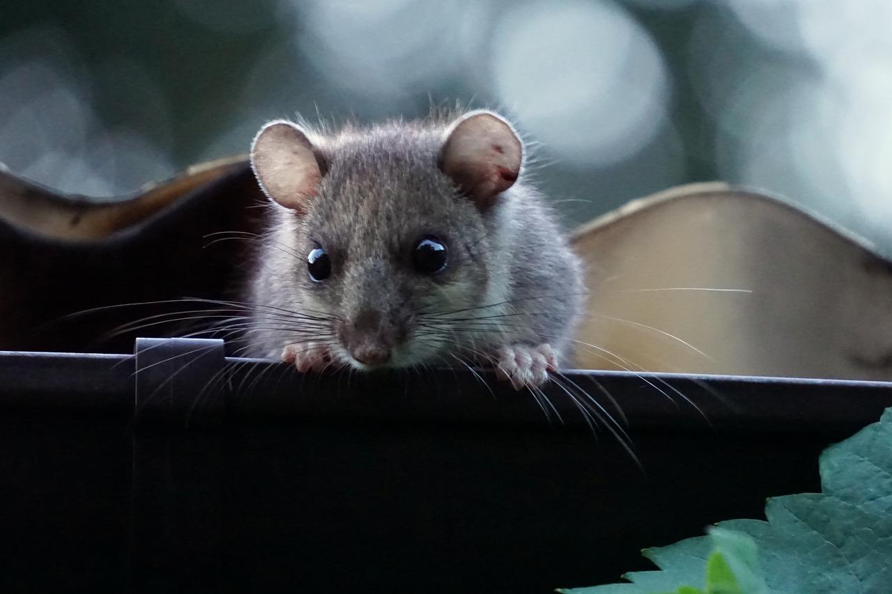 Disinfestazione ghiri: come allontanare questi animali senza ucciderli?