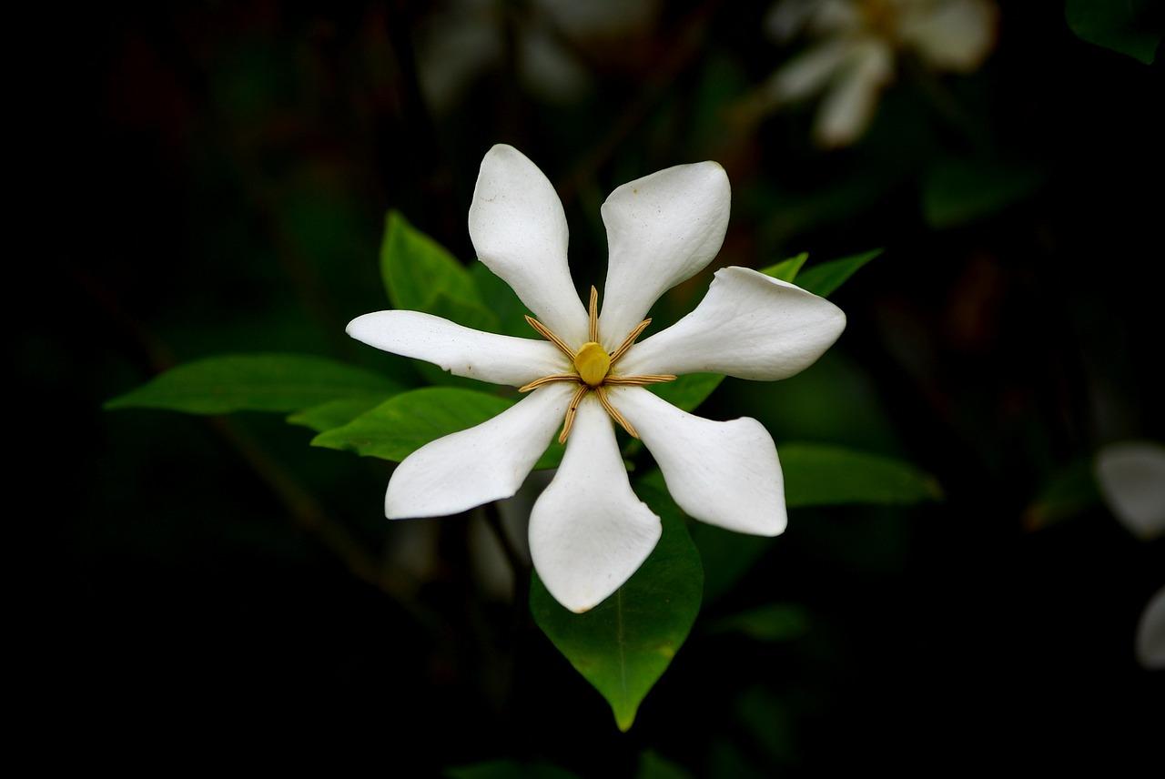 Consigli per coltivare la gardenia sul balcone