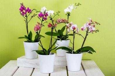Malattie orchidea: quali sono e come curarle