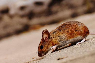Esche e trappole per topi: quali sono i sistemi più efficaci?