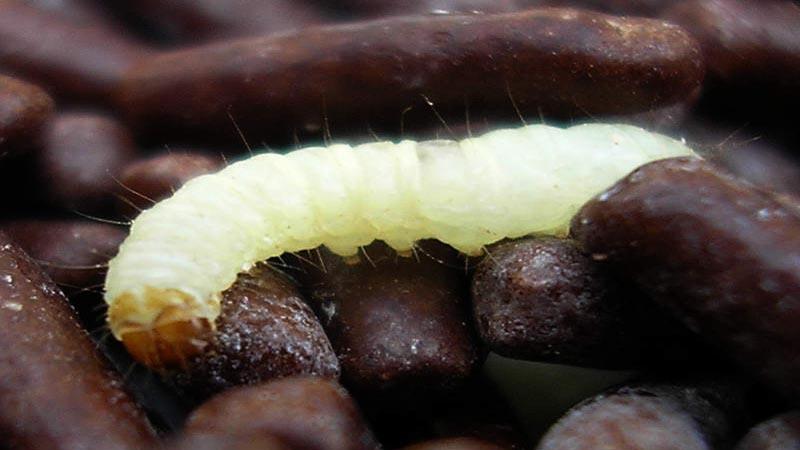 Lyambliya e helminths che questo - Come vivere con parassiti