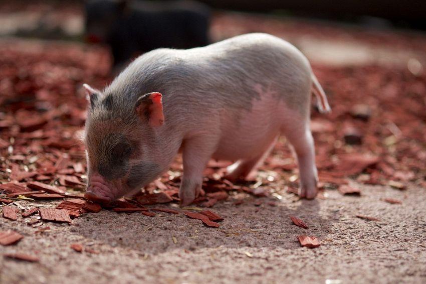 Animali strani: le caratteristiche del maialino nano