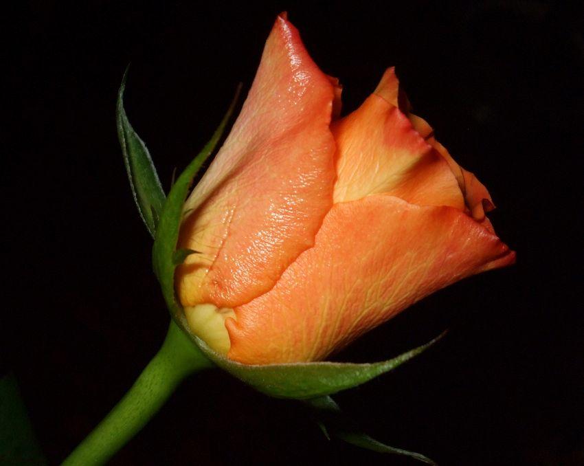 Come disegnare una rosa in pochi semplici passaggi